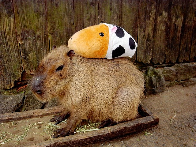 Kotaro_CapybaraKapibarasan